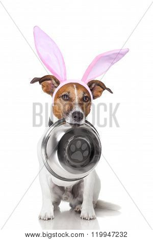 easter bunny ears jack russell dog hungry with food bowl in mouth isolated on white background poster