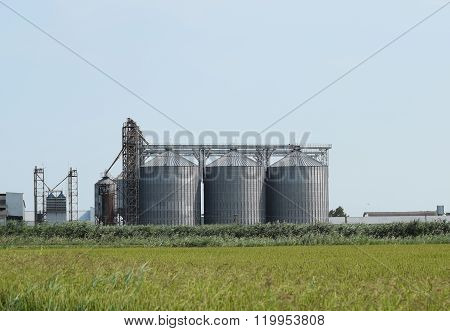 Rice Plant In The Middle Of Fields