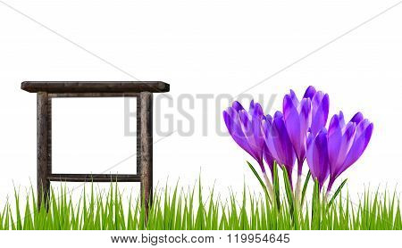 Spring banner with crocus flowers