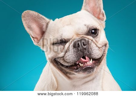 French Bulldog Isolated Over Blue Background
