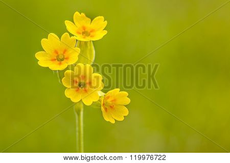 Yellow Cowslip Flowers