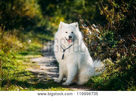 Very Funny Happy Funny Lovely Pet White Samoyed Dog Outdoor in S