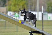 Miniature Schnauzer on a Teeter Totter at Dog Agility Trial poster