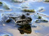 a frog in water. shallow depth of field with focus on eyes. poster