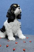 9 week old american cocker spaniel puppy surrounded by ladybugs poster