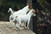 Majestic Alert Jack Russell Terrier Dogs ready for the Hunt. poster