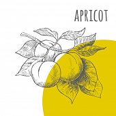 Apricot vector freehand pencil drawn sketch. Illustration of apricots bunch on branch with leaves. Part of set of fruits sketchy drawings. poster