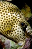 caribbean pufferfish in front of reef in bonaire poster