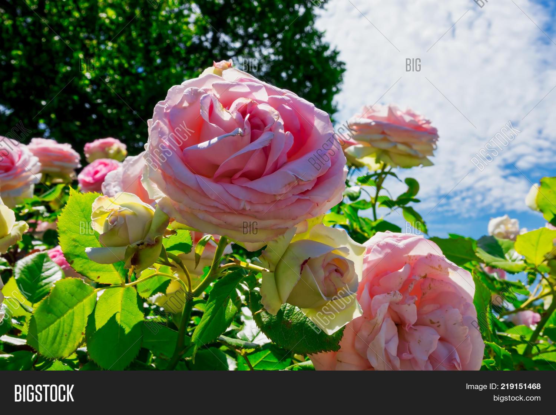 Hybrid Tea Roses Image Photo Free Trial Bigstock