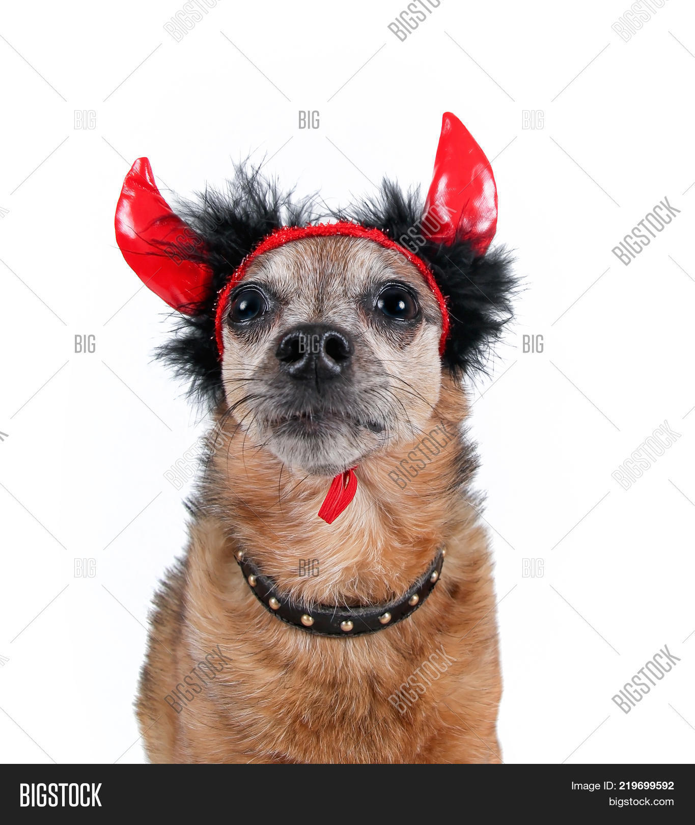 cute chihuahua in a costume with devil horns and a studded collar isolated on a white  sc 1 st  Bigstock & Cute Chihuahua Costume Image u0026 Photo (Free Trial) | Bigstock