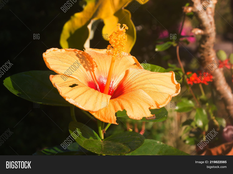 Beautiful flowers image photo free trial bigstock the beautiful flowers yello hibiscus in garden izmirmasajfo