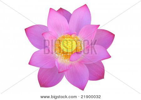 Lotus flower, isolated, clipping path included