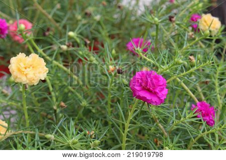 Close up of colorful Common Purslane flower or Verdolaga or Pigweed or Little Hogweed or Pusley and green leaves in flowerbed at the garden.