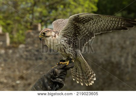 a majestic falcon, a raptor, in Adare, Ireland poster