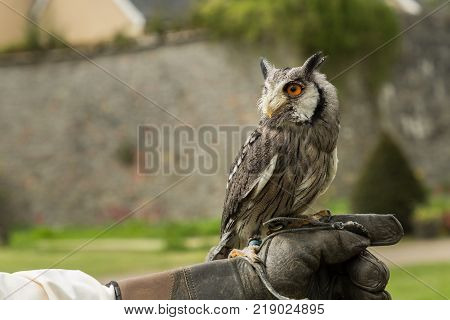 a white-faced scopes owl sits in a handler's gloved hand, Adare, Ireland
