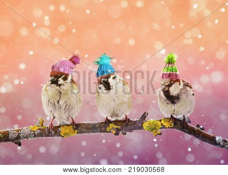 three funny birds Sparrow sitting on a branch in winter garden in a humorous knitted hats