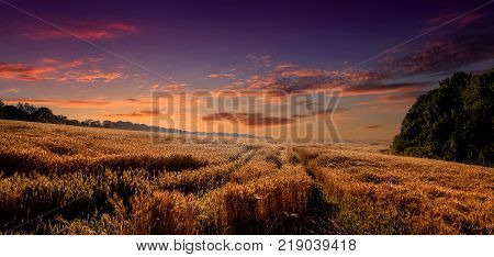 Colorful sunset over wheat field. golden ears of wheat or rye on sky background with clouds under the influence of sunlight. Rich harvest Concept. majestic rural landscape.