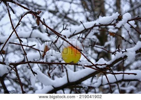 The last Apple on a branch in winter. The Apple on the tree in the snow. Lone Apple hanging on a branch. Yellow Apple in the snow. Apple in the cold. Green and yellow Apple in the winter. Frozen apples in the snow