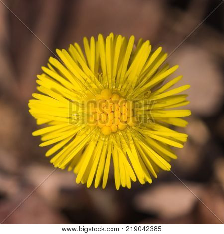 Flower in early spring, blooming coltsfoot, tussilago farfara, macro with bokeh background selective focus, shallow DOF.