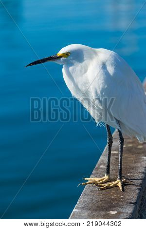 Close up of a white heron in Oceanside California