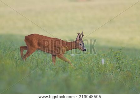 Roe deer, capreolus capreolus, buck in natural summer meadow with flowers. Wild animal walking. Roebuck with big antlers.