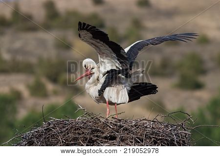 White storks, Ciconia ciconia, mating in the nest. Wild animals copulating with greend and brown blurred background.