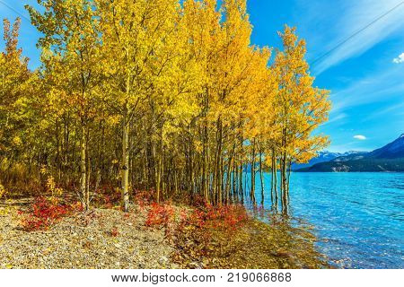 Journey to the Golden Autumn in Rocky Mountains. Magnificent turquoise Abraham Lake in a flood. The flooded coastal gold birchwoods. The concept of ecological and active tourism
