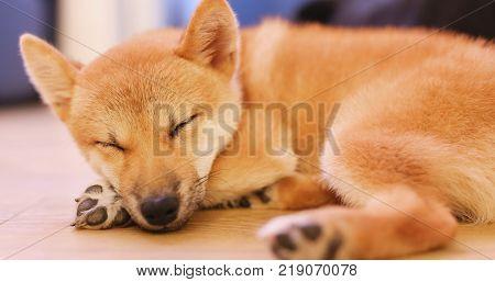 Little shiba inu sleep on floor