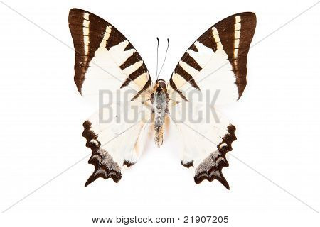 Brown And White Butterfly Graphium Decolor Isolated On White Background