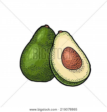 Whole and half avocado with seed. Vector colorf vintage engraving illustration for menu, poster. Isolated on white background