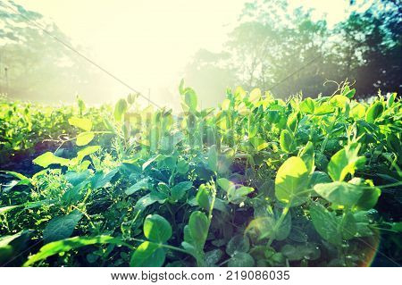 Green pea plants in growth at sunrise field