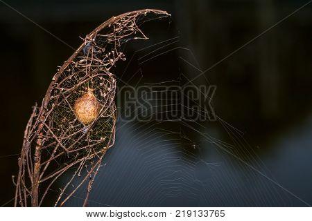 A Garden spider egg sac in a plant