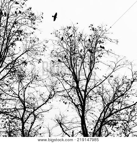 back crow flying over a winter tree with others roosting in the branches