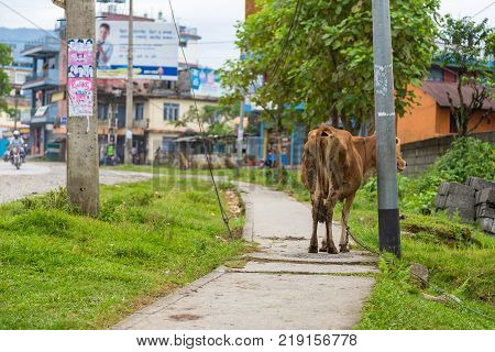 POKHARA NEPAL - October 2 2013: Cow on the streets of Pokhara. Pokhara is the starting point for most of the treks in the Annapurna area.