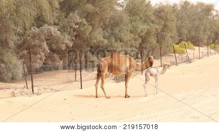 Cute single-humped camel or dromedary in beautiful liwa desert in the middle of the day.