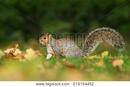 Grey squirrel on the green grass and colorful autumn leaves with the tail up UK.