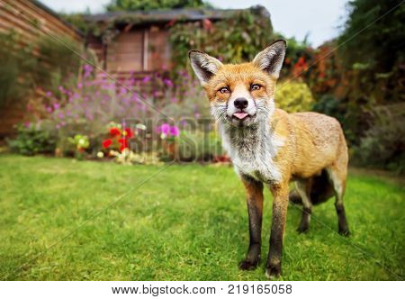 Portrait of cute red fox sticking out the tongue in the garden. Funny animals.