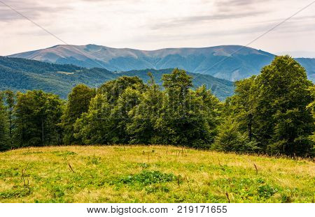 grassy meadow on forested hillside of Carpathians. lovely summer landscape in mountains. location near Svydovets mountain ridge Ukraine