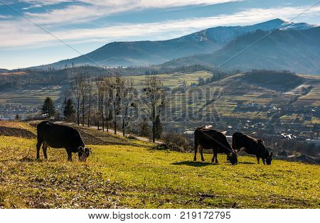 cow cattle grazing on a hillside. beautiful countryside scenery in mountainous area with snowy peaks