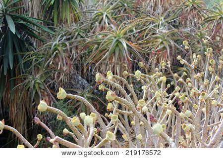Succulent border with aloe vera on the background. Combination of aloe vera and succulents in grdening. Southern plnts garden.