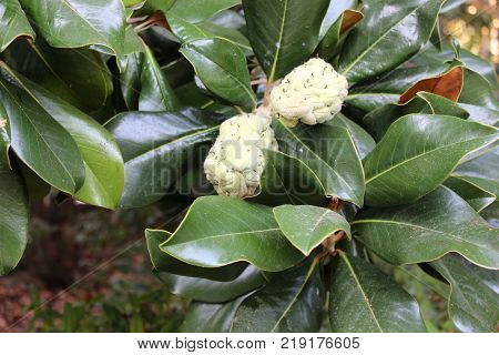 Big green glossy magnolia leaves with fruits. Exotic magnolia fruits on branch in garden.