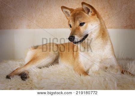 Shiba inu purebred dog is lying on a fur rug indoors