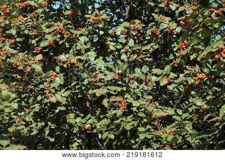 Dark green leaves and orange fruits of whitebeam