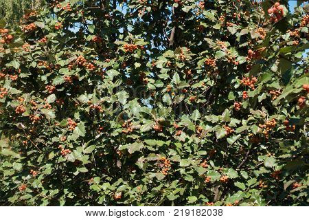 Dense leafage of whitebeam tree with fruits