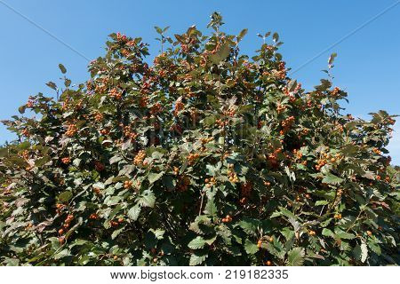 Leafage and fruits of whitebeam against blue sky