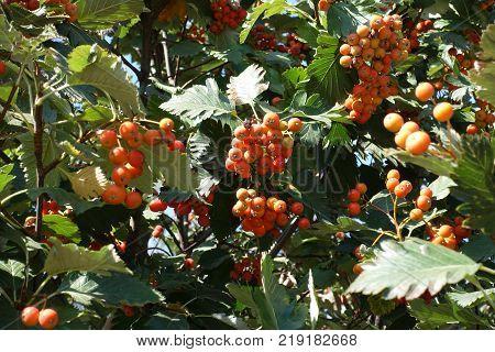 Racemes of orange fruits of Sorbus aria
