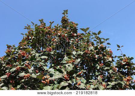 Top of whitebeam tree against blue sky