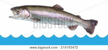 Fish trout jumping out of the water isolated white background
