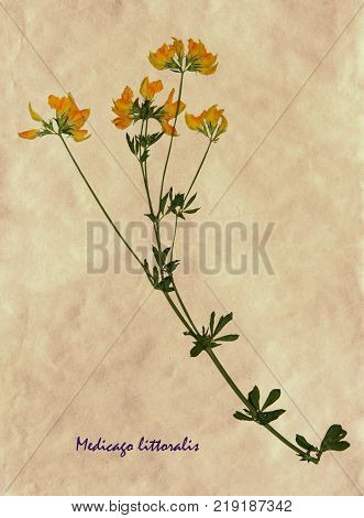 Herbarium from pressed and dried flowers of medick on antique brown craft paper with Latin subscript Medicago littoralis