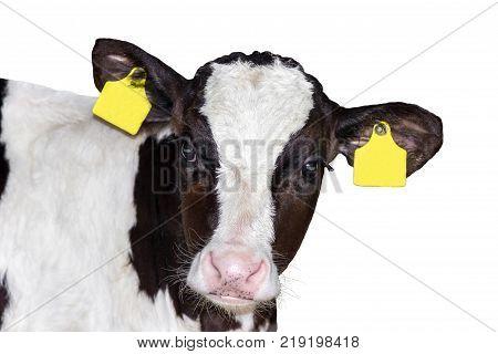 calf (bull) animal isolated on white background
